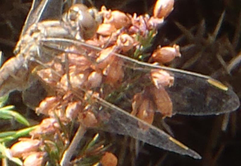 S.flaveolum ou S. fonscolombii? P9090217