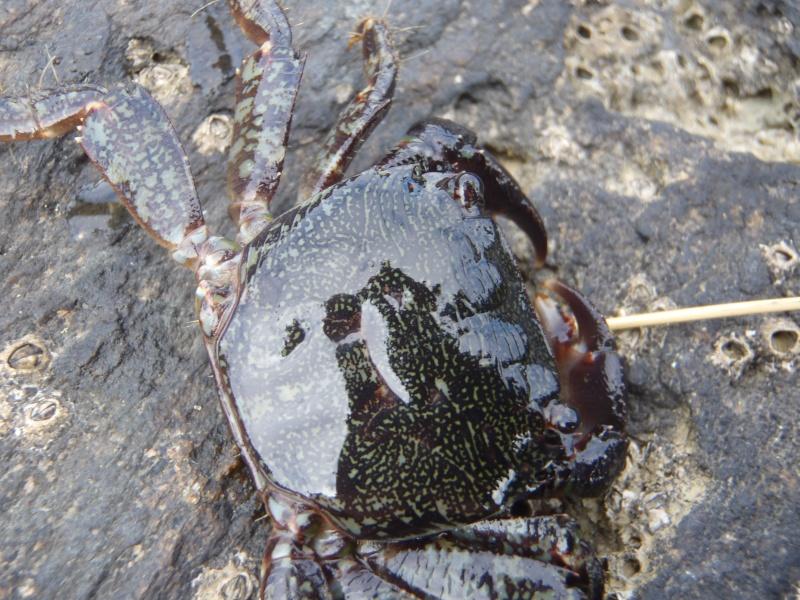 Hemigrapsus takanoi et Pachygrapsus marmoratus P9130011