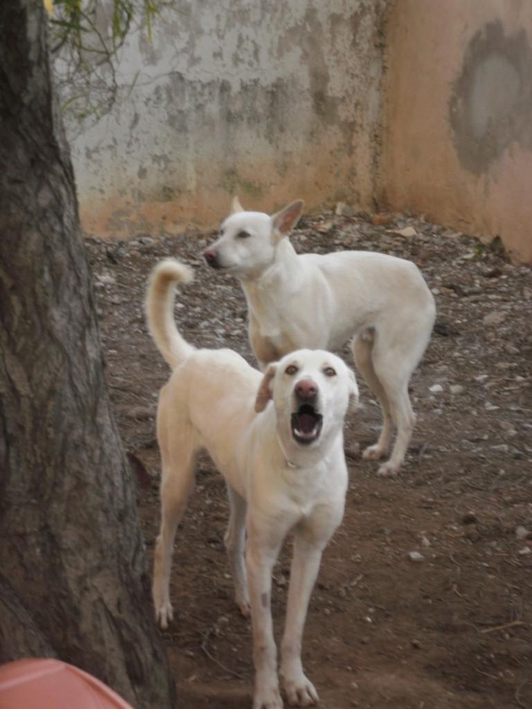 Extrême Urgence 4 chiens blanc SPA Tunisie moins d'un mois pour les sauver.... 2_blan10