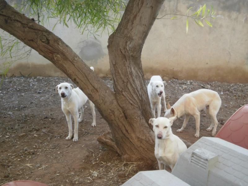 Extrême Urgence 4 chiens blanc SPA Tunisie moins d'un mois pour les sauver.... 4_blan10