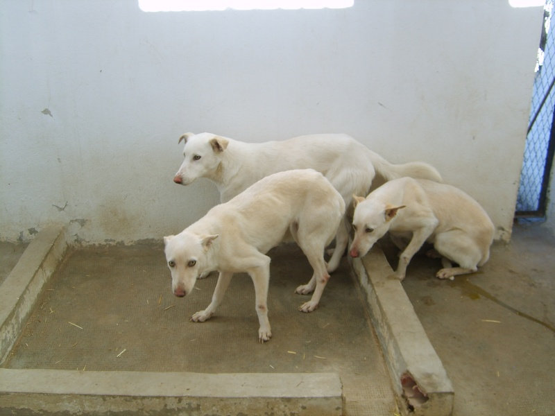 Extrême Urgence 4 chiens blanc SPA Tunisie moins d'un mois pour les sauver.... Trio_b10