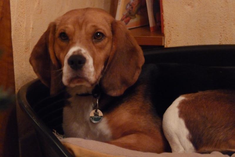 Recherche d'un covoiturage Vendée -> La Ferté-Bernard (72) pour DAISY, beagle femelle, 5 ans Daisy11