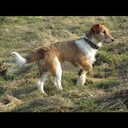 CHIVAS (mâle croisé fox) 38836_10