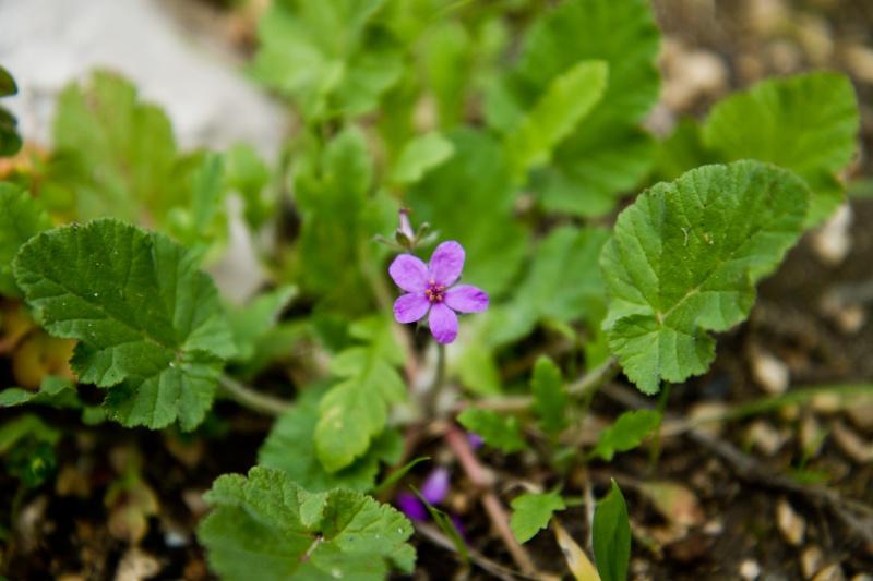 Erodium fausse mauve / Erodium malacoides Herbes11