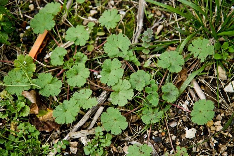 et ça? c'est quoi? ( geranium , lamier amplexicaule etleurs complices) Herbes14