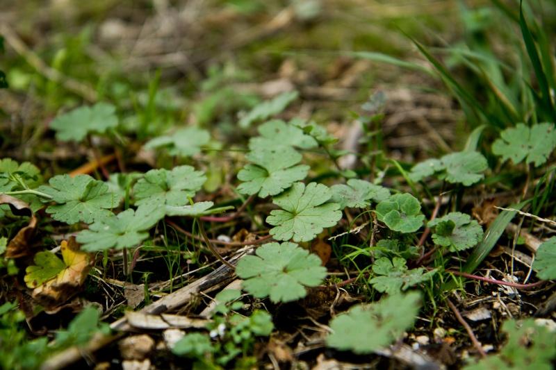 et ça? c'est quoi? ( geranium , lamier amplexicaule etleurs complices) Herbes15