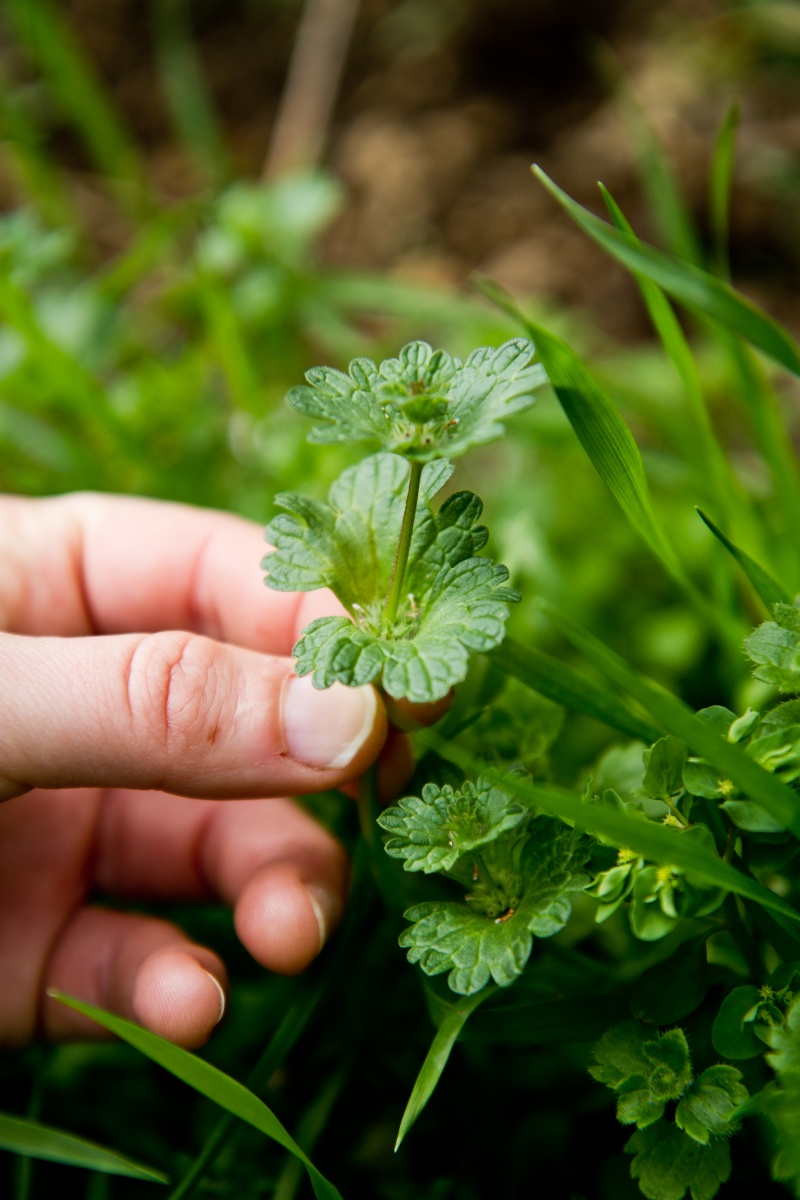 et ça? c'est quoi? ( geranium , lamier amplexicaule etleurs complices) Herbes16