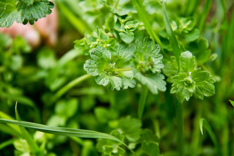 et ça? c'est quoi? ( geranium , lamier amplexicaule etleurs complices) Herbes17