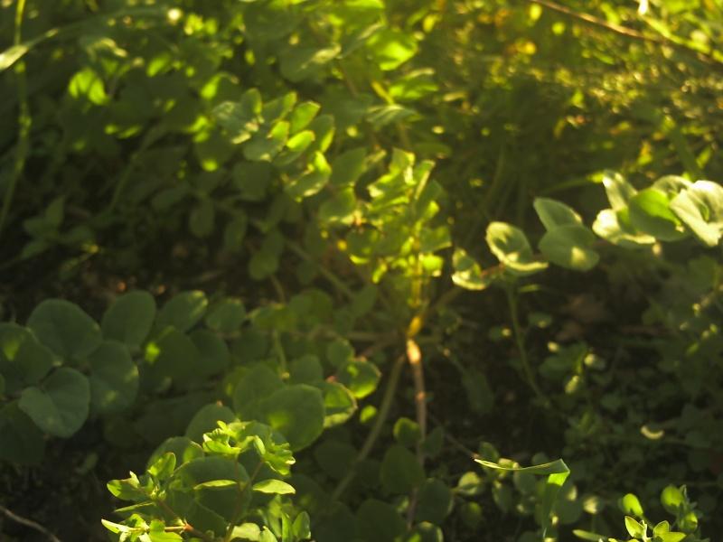 laiteron délicat ? Sonchus tenerrimus  Phot0112