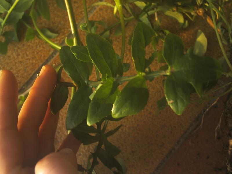 laiteron délicat ? Sonchus tenerrimus  Phot0113