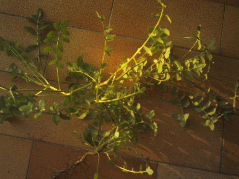 laiteron délicat ? Sonchus tenerrimus  Phot0114