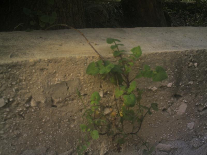 laiteron délicat ? Sonchus tenerrimus  Phot0115