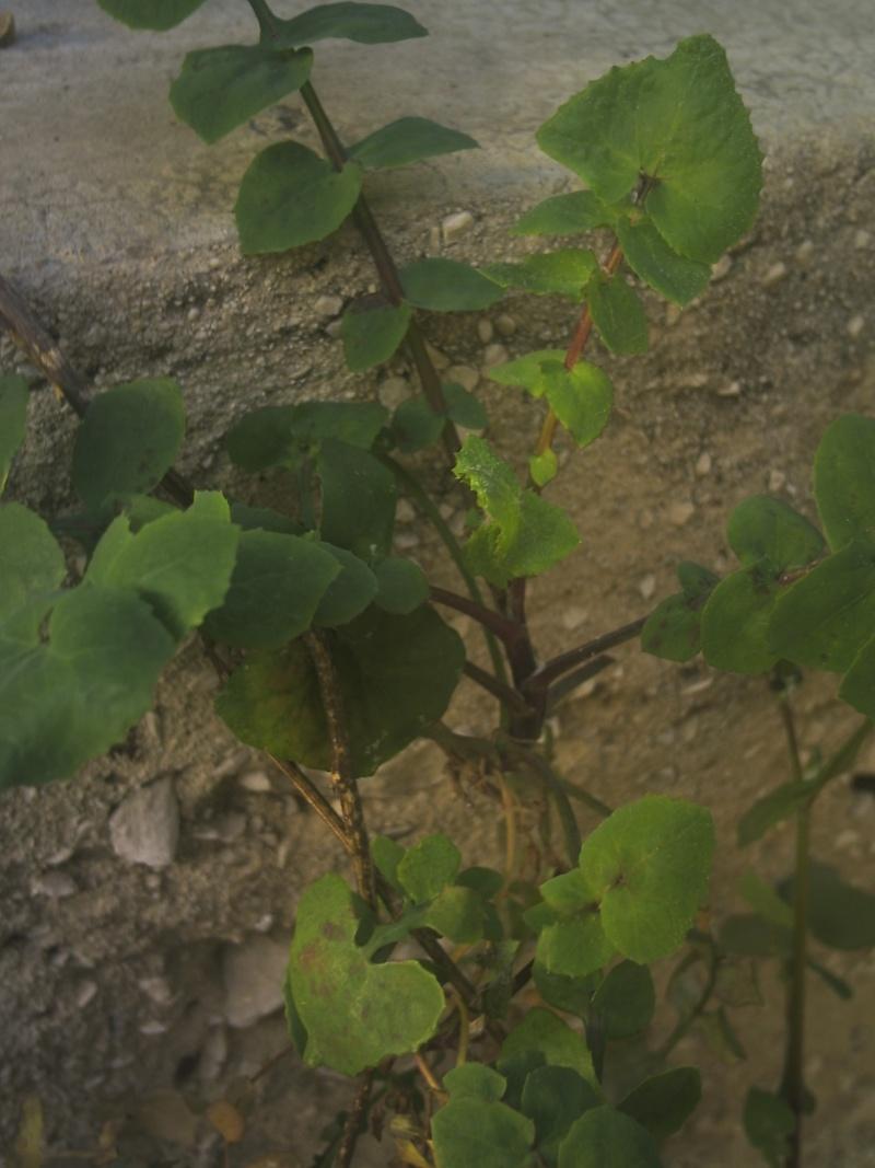 laiteron délicat ? Sonchus tenerrimus  Phot0118