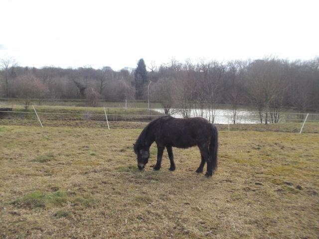 PRUNELLE - ONC poney typée shetland présumée née en 2000 - adoptée en août 2013 par Céline Bh6c2p10