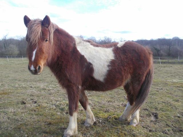 INDIANA - ONC poney typée shetland présumée née en 2000 - adoptée en juillet 2013 Lzwlez10