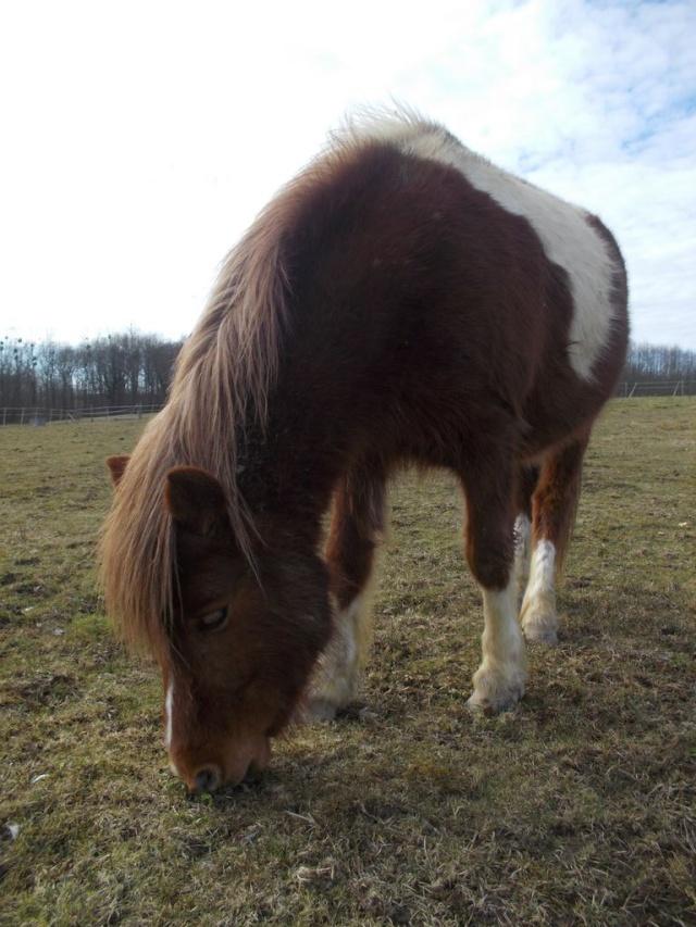 INDIANA - ONC poney typée shetland présumée née en 2000 - adoptée en juillet 2013 Ulogji10