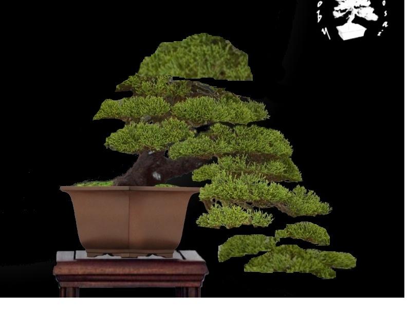 Juniperus Chinensis - Pagina 3 Chinen10