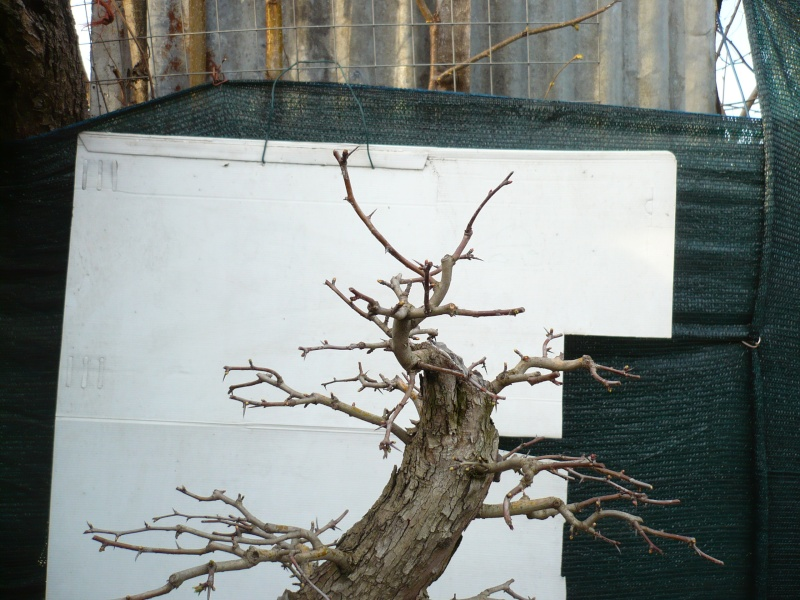 Un biancospino che diventa bonsai...... - Pagina 6 P1070631