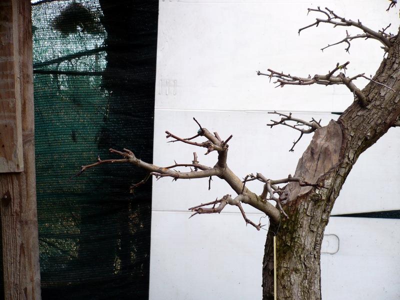 Un biancospino che diventa bonsai...... - Pagina 6 P1070632