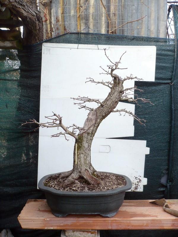Un biancospino che diventa bonsai...... - Pagina 6 P1070634