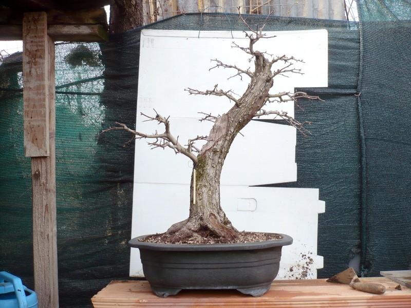 Un biancospino che diventa bonsai...... - Pagina 6 P1070635