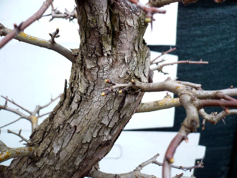 Un biancospino che diventa bonsai...... - Pagina 6 P1070636