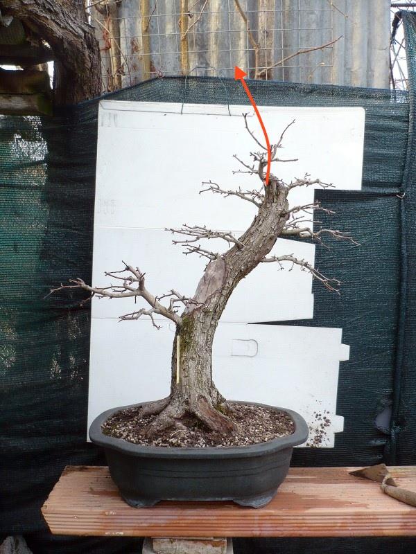 Un biancospino che diventa bonsai...... - Pagina 6 P1070637