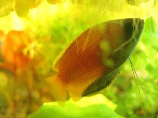 Trichogaster chuna Dscn5810