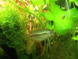 Trichogaster chuna Dscn5811