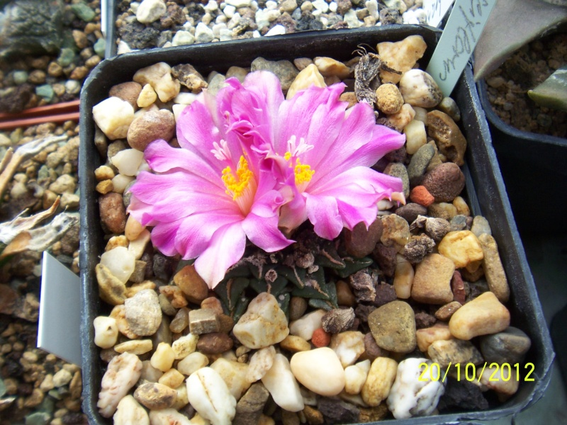 Cacti and Sukkulent in Köln, every day new flowers in the greenhouse Part 41 Bild1017