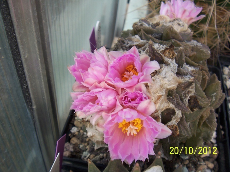 Cacti and Sukkulent in Köln, every day new flowers in the greenhouse Part 41 Bild1020