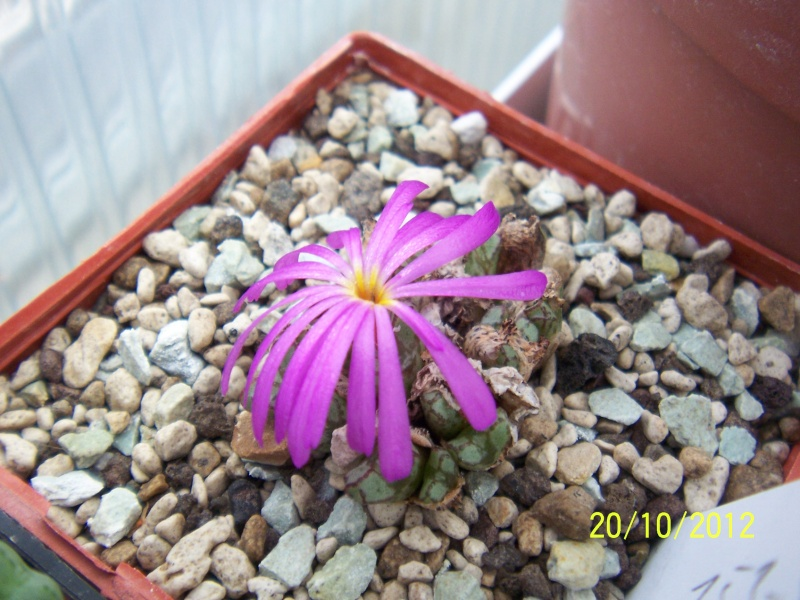 Cacti and Sukkulent in Köln, every day new flowers in the greenhouse Part 41 Bild1024