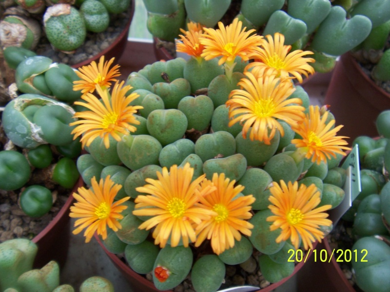 Cacti and Sukkulent in Köln, every day new flowers in the greenhouse Part 41 Bild1026
