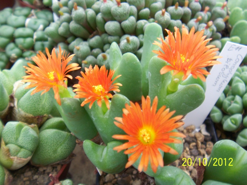Cacti and Sukkulent in Köln, every day new flowers in the greenhouse Part 41 Bild1027