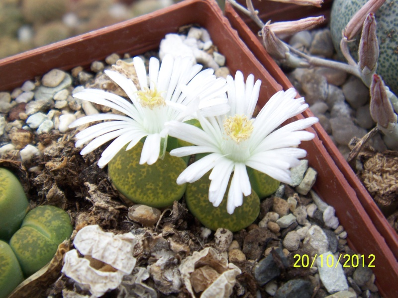 Cacti and Sukkulent in Köln, every day new flowers in the greenhouse Part 41 Bild1029