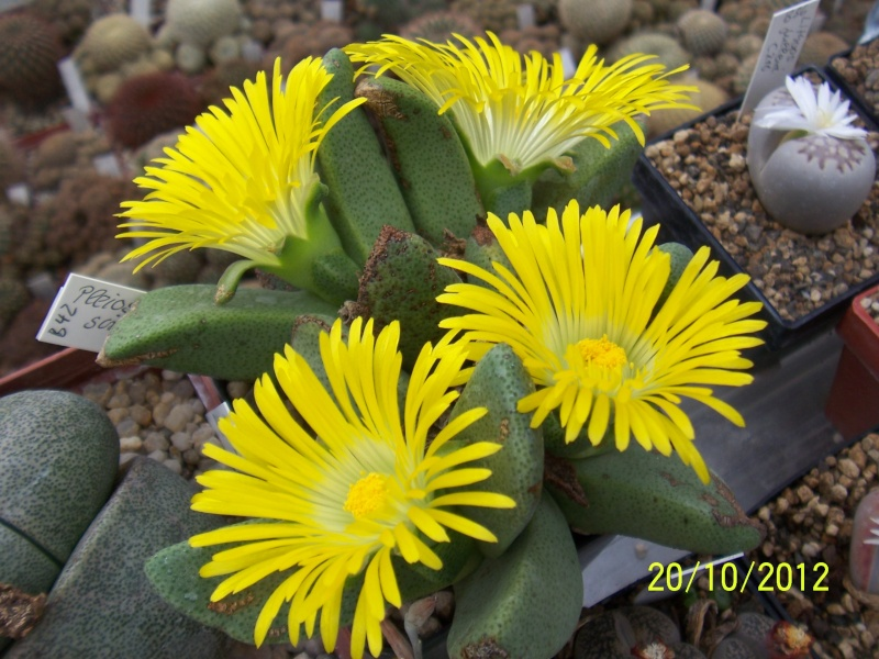Cacti and Sukkulent in Köln, every day new flowers in the greenhouse Part 41 Bild1031