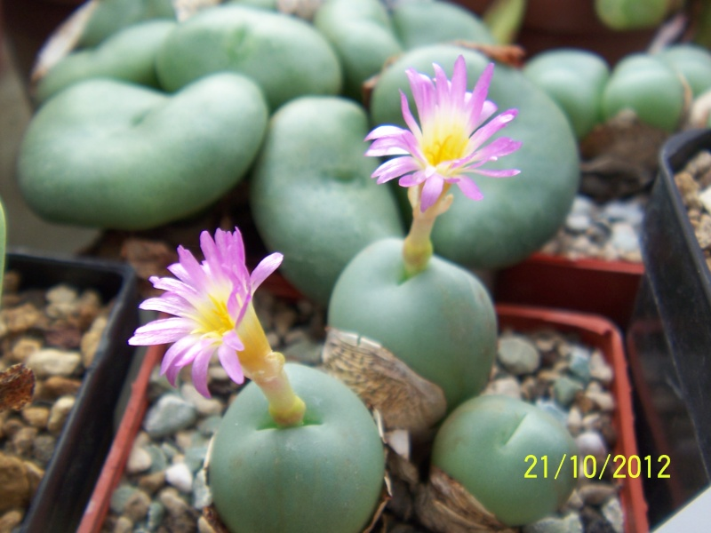 Cacti and Sukkulent in Köln, every day new flowers in the greenhouse Part 41 Bild1039