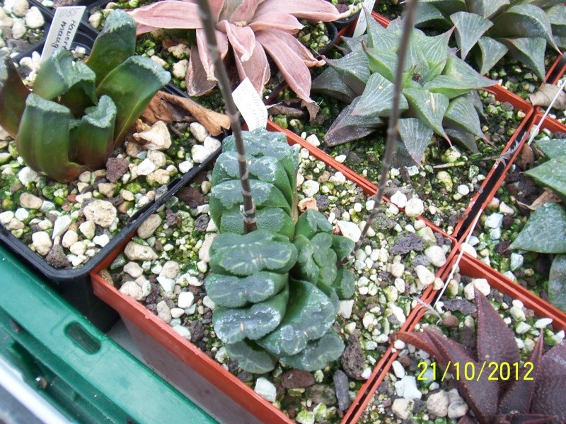 Cacti and Sukkulent in Köln, every day new flowers in the greenhouse Part 41 Bild1054