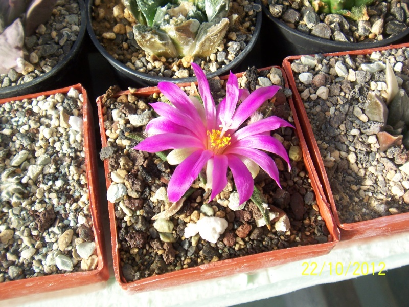 Cacti and Sukkulent in Köln, every day new flowers in the greenhouse Part 42 Bild1073