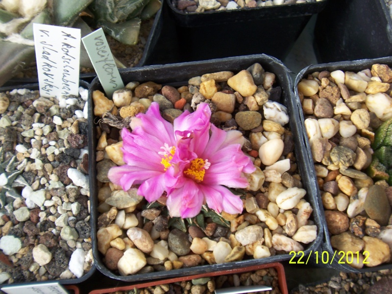 Cacti and Sukkulent in Köln, every day new flowers in the greenhouse Part 42 Bild1075