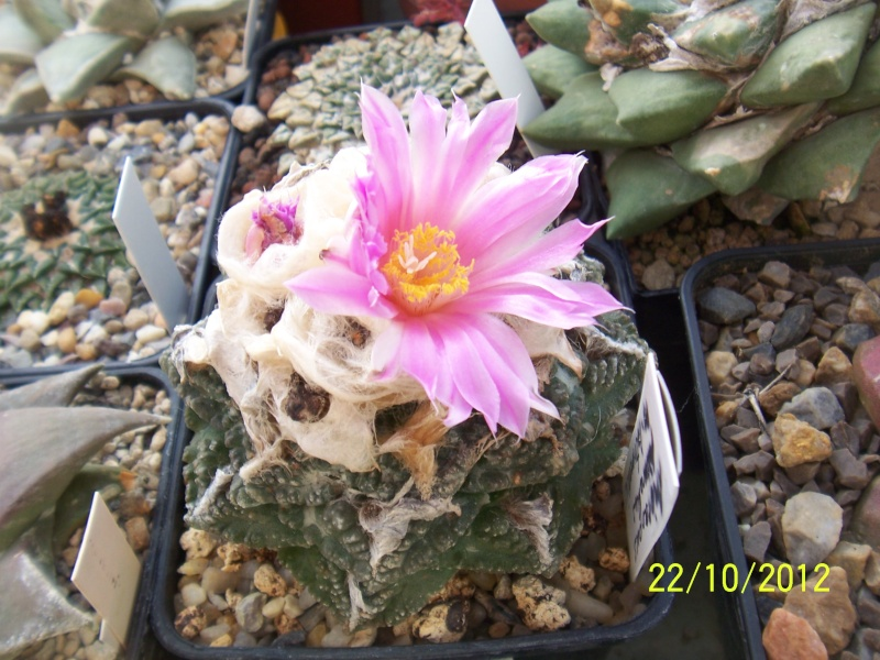 Cacti and Sukkulent in Köln, every day new flowers in the greenhouse Part 42 Bild1076