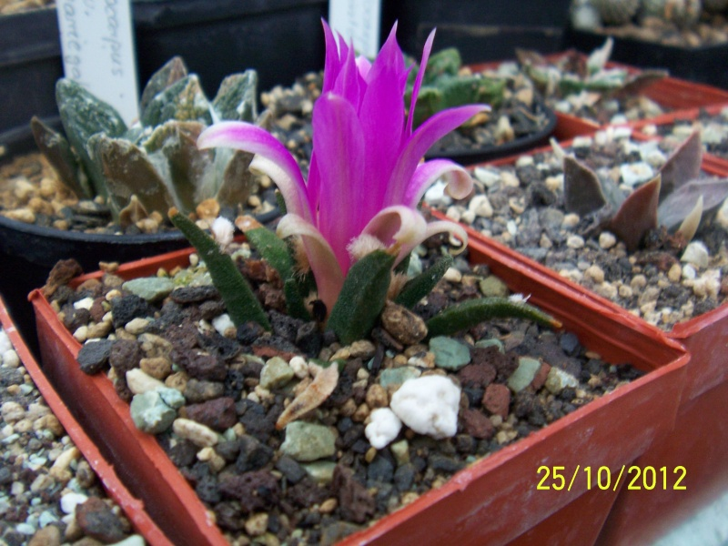 Cacti and Sukkulent in Köln, every day new flowers in the greenhouse Part 42 Bild1080