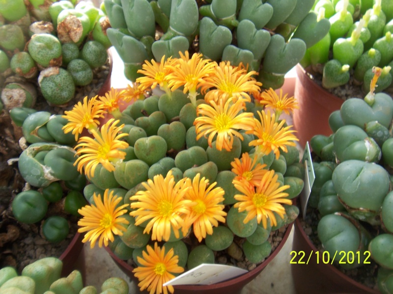 Cacti and Sukkulent in Köln, every day new flowers in the greenhouse Part 42 Bild1082