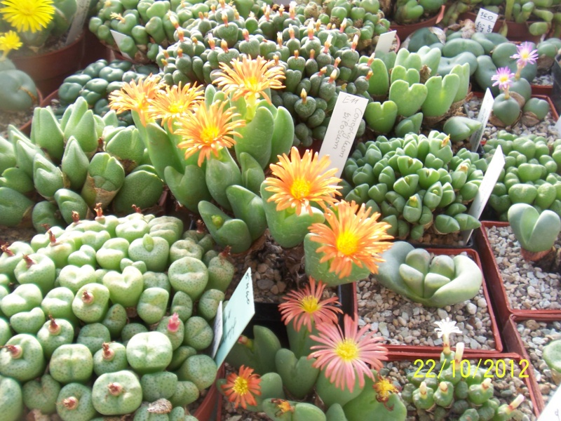 Cacti and Sukkulent in Köln, every day new flowers in the greenhouse Part 42 Bild1083