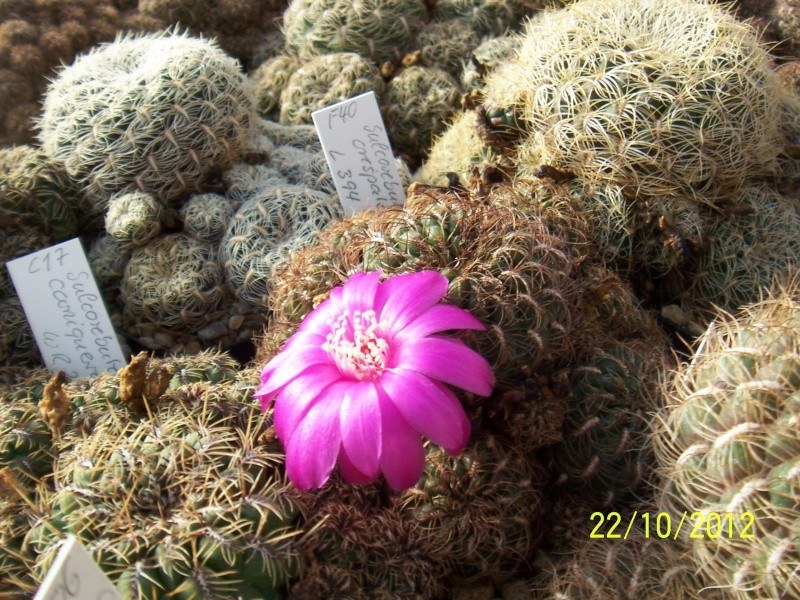 Cacti and Sukkulent in Köln, every day new flowers in the greenhouse Part 42 Bild1084