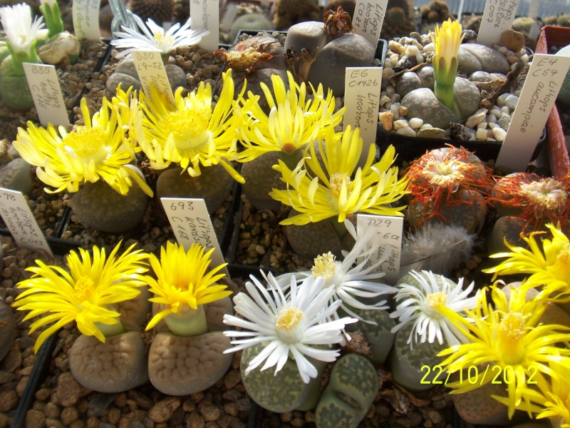 Cacti and Sukkulent in Köln, every day new flowers in the greenhouse Part 42 Bild1085