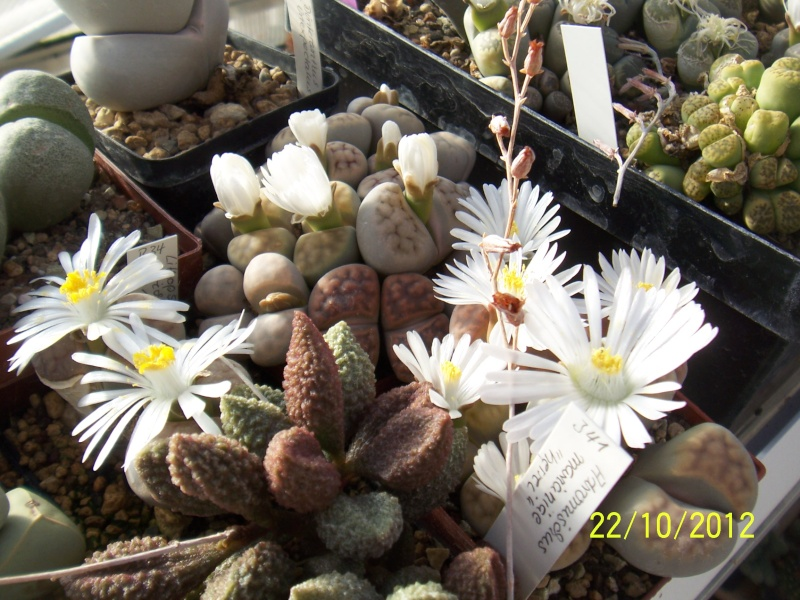Cacti and Sukkulent in Köln, every day new flowers in the greenhouse Part 42 Bild1086