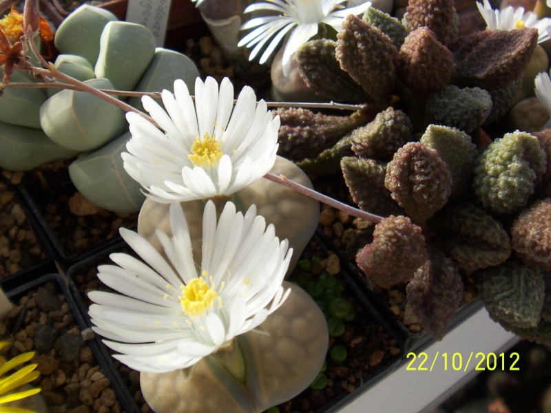 Cacti and Sukkulent in Köln, every day new flowers in the greenhouse Part 42 Bild1087