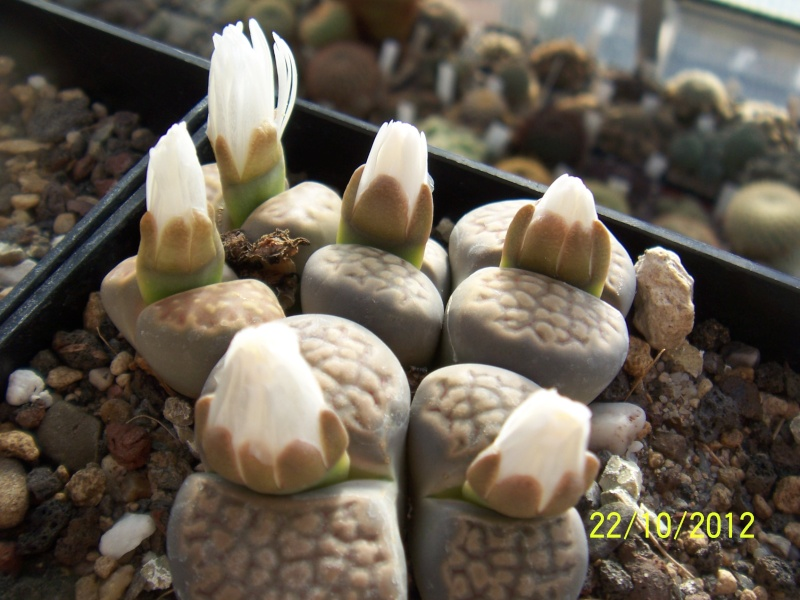 Cacti and Sukkulent in Köln, every day new flowers in the greenhouse Part 42 Bild1088