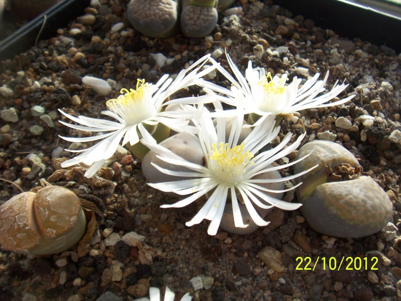Cacti and Sukkulent in Köln, every day new flowers in the greenhouse Part 42 Bild1089